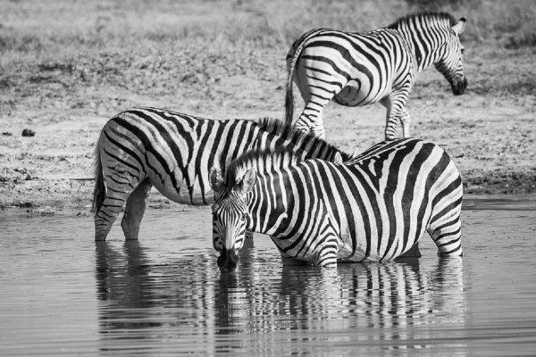 Биологи: Черно-белые полосы зебр не охлаждают их тело, как думали раньше