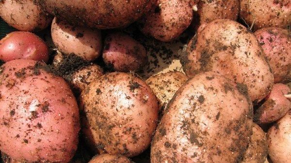 Роспотребнадзор не запрещает сажать картошку для личных нужд