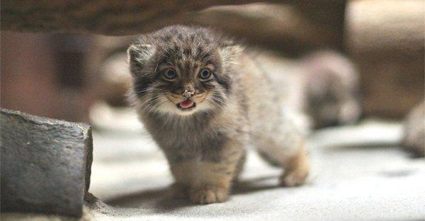 В зоопарке Новосибирска детенышей манула вскармливает домашняя кошка