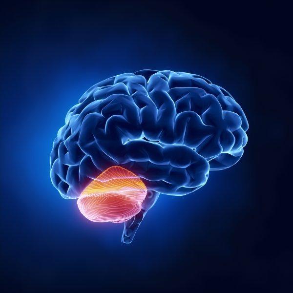 Ученые: Развитие аутизма связано с формой мозжечка
