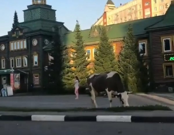 В центре Новокузнецка коровы нарушали ПДД