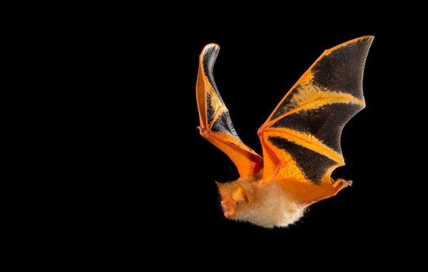 Красный свет фонарей ухудшал миграцию летучих мышей