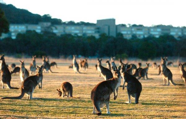 В Австралии полчища кенгуру атаковали пастбище и попали на видео
