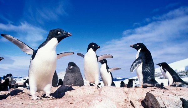 В Антарктиде найдены мумии массово вымерших пингвинов Адель