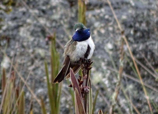 Орнитологи нашли в Андах новый и очень редкий вид колибри
