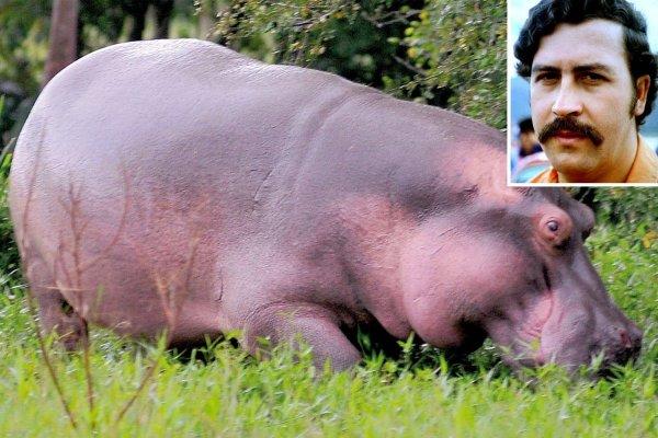 Бегемоты наркобарона Пабло Эскобара смогут избежать кастрации