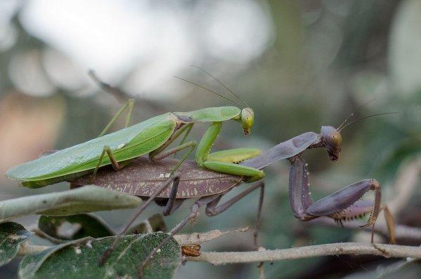 Ученые раскрыли причину каннибализма насекомых при спаривании