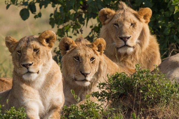 Ученые получили первых львят, выведенных путем искусственного осеменения