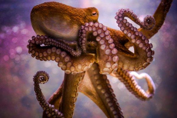 Ученые нашли сходства между осьминогом и человеческим мозгом