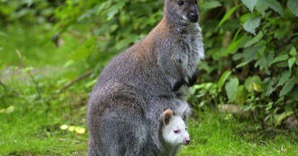Ученые выяснили историю происхождения кенгуру