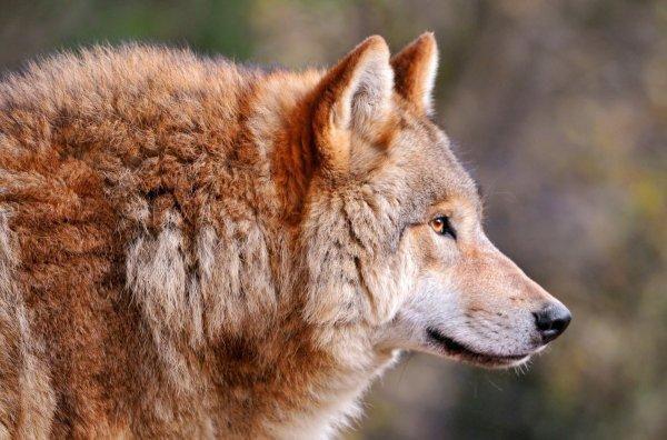 Ученые из США обнаружили ДНК вымерших рыжих волков у таинственных собак